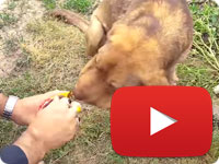 Update 10 on a rescued stray dog that was strangled with a rope on his neck - Delavar