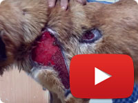 Rescuing a stray dog with major skin injuries - Shirin