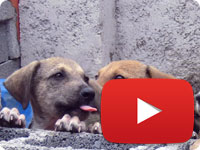 Final update on a rescued stray dog with sarcoptic mange and her babies - Talesh