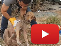 Rescuing a stray pregnant dog with sarcoptic mange, anemia and twitching - Khomam