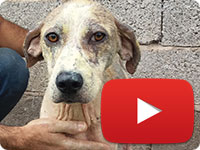 Rescuing a stray dog with skin diseases - Khanoom Kuchik